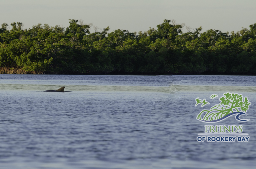 FORB logo | Dolphin in Rookery Bay Research Reserve | Rookery Bay Staff | Zoom Gallery
