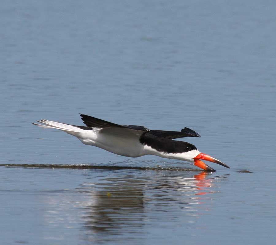 Breakfast with the Birds Lectures | Black Skimmer | Rookery Bay Research Reserve