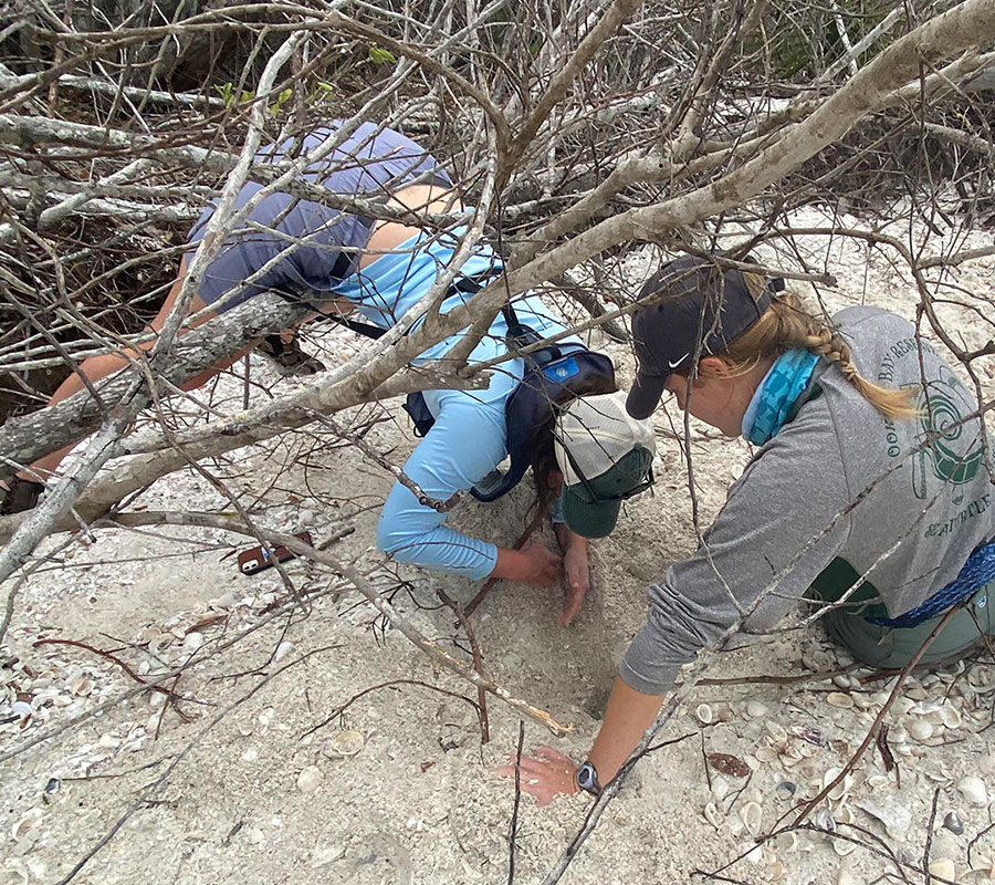 Sea Turtle Interns Dig | Rookery Bay Research Reserve