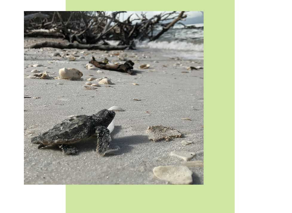 Sea Turtle Program | Rookery Bay Research Reserve