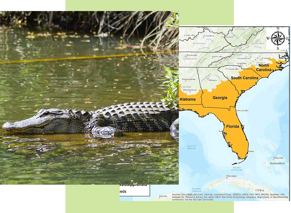 Alligators at Rookery Bay Research Reserve | National Estuarine Research Reserve