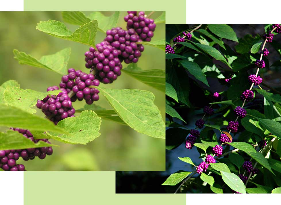 American Beauty Berry Wildlife in Naples | Rookery Bay Research Reserve