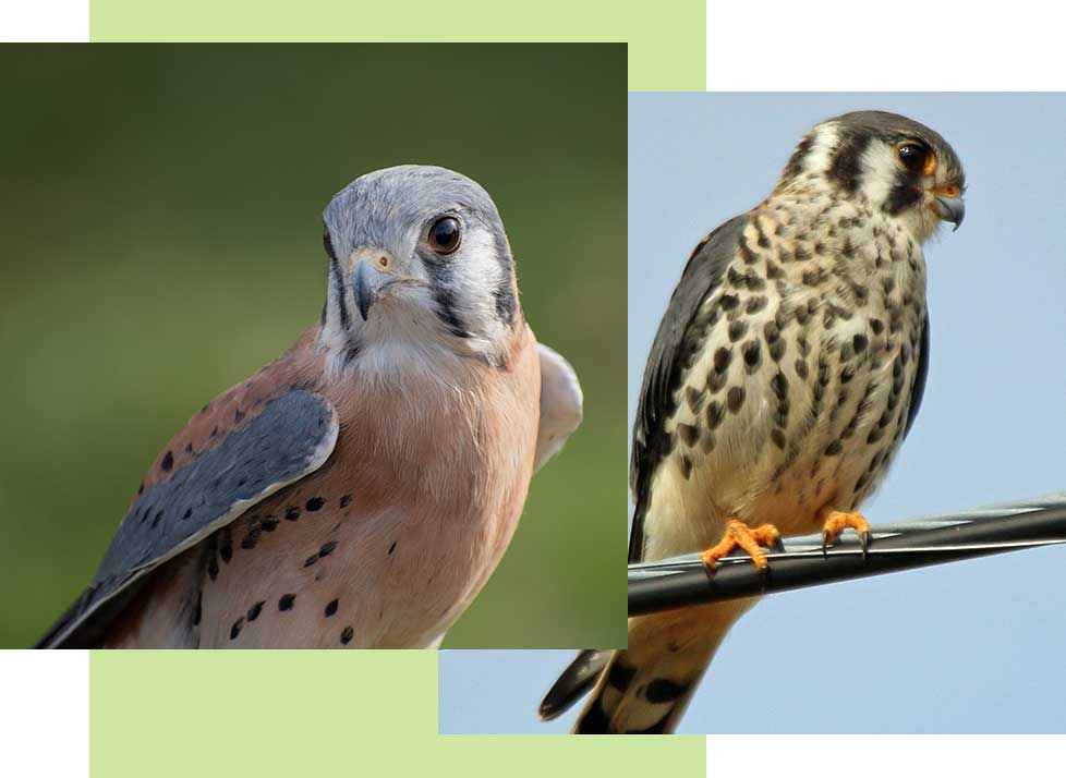 American Kestrels at Rookery Bay Research Reserve | National Estuarine Research Reserve