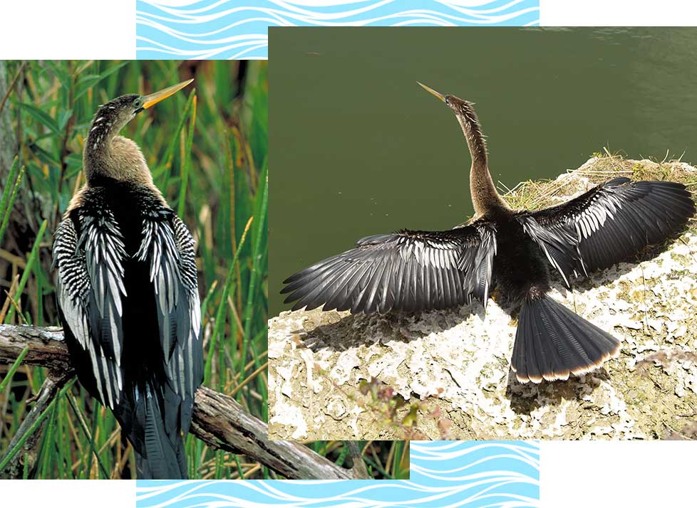 Anhinga at Rookery Bay Research Reserve | National Estuarine Research Reserve