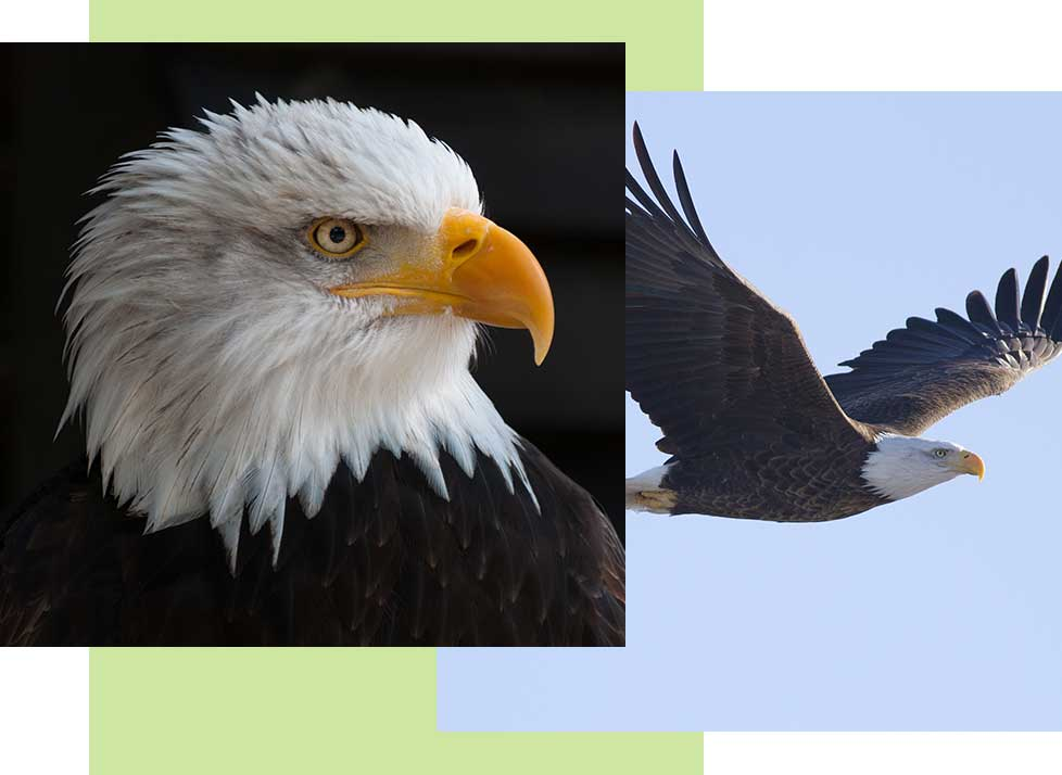 Bald Eagles at Rookery Bay Research Reserve | National Estuarine Research Reserve