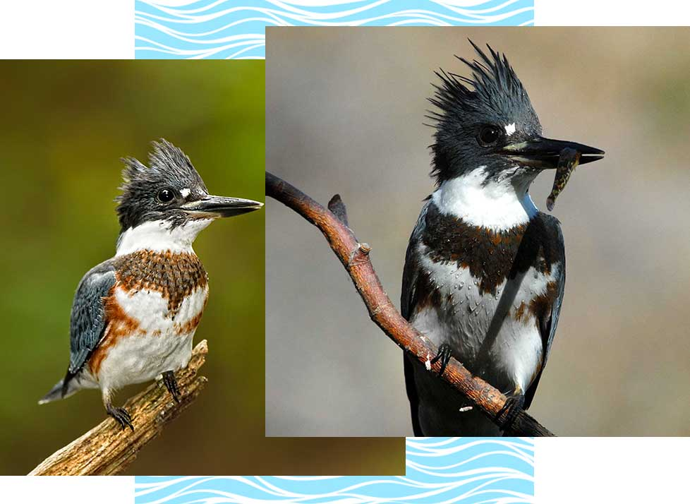 Belted Kingfishers at Rookery Bay Research Reserve | National Estuarine Research Reserve