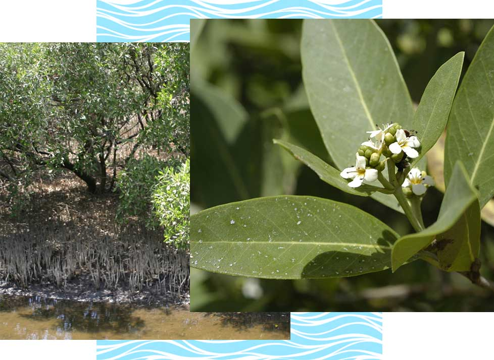 Black Mangroves Wildlife in Naples | Rookery Bay Research Reserve