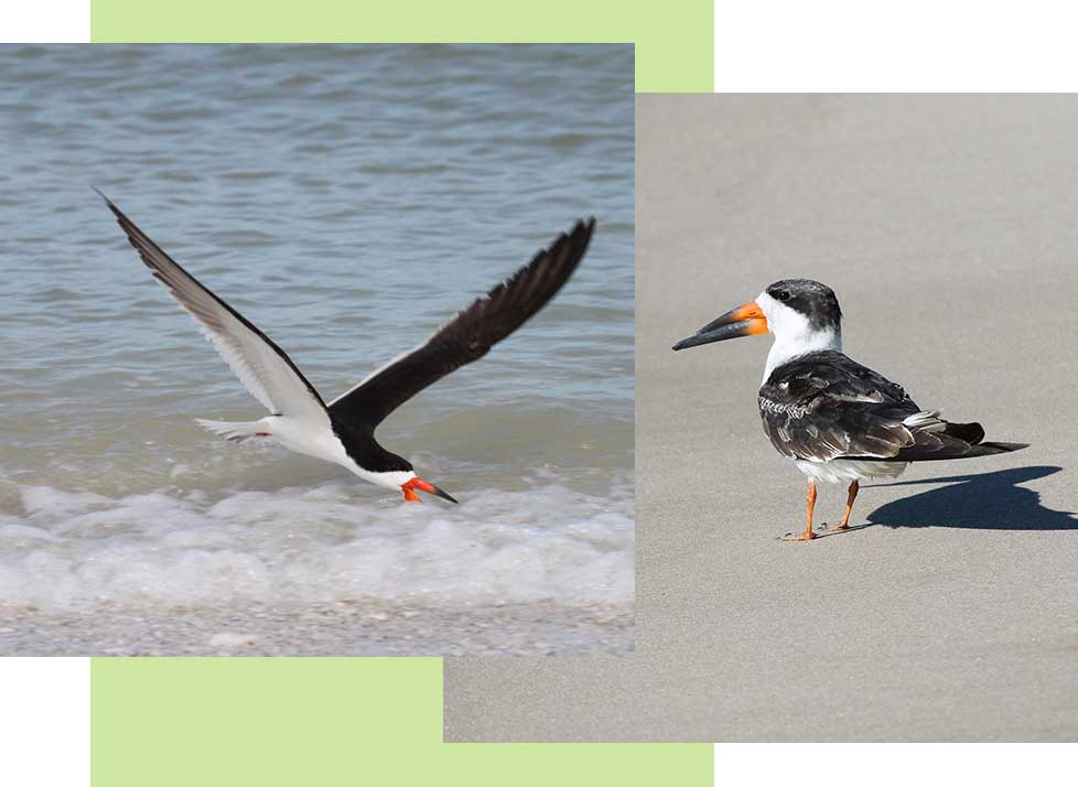 Black Skimmers at Rookery Bay Research Reserve | National Estuarine Research Reserve
