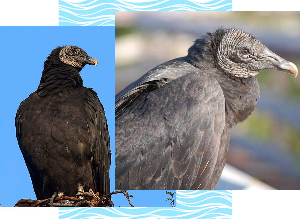 Black Vultures at Rookery Bay Research Reserve | National Estuarine Research Reserve