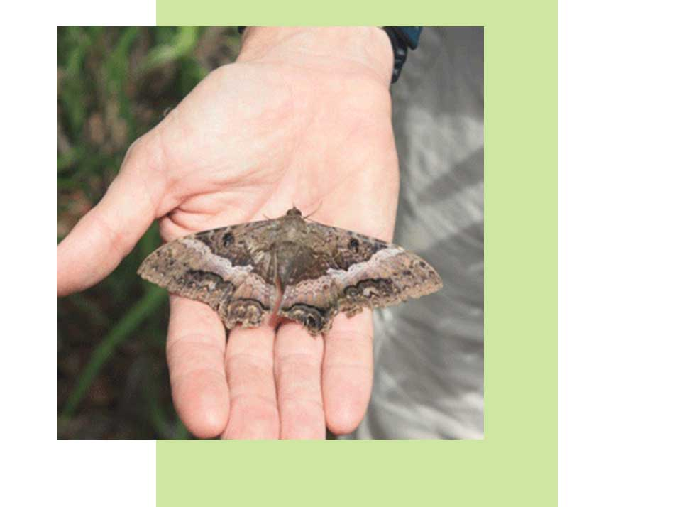 Black Witch Moth Wildlife in Naples | Rookery Bay Research Reserve