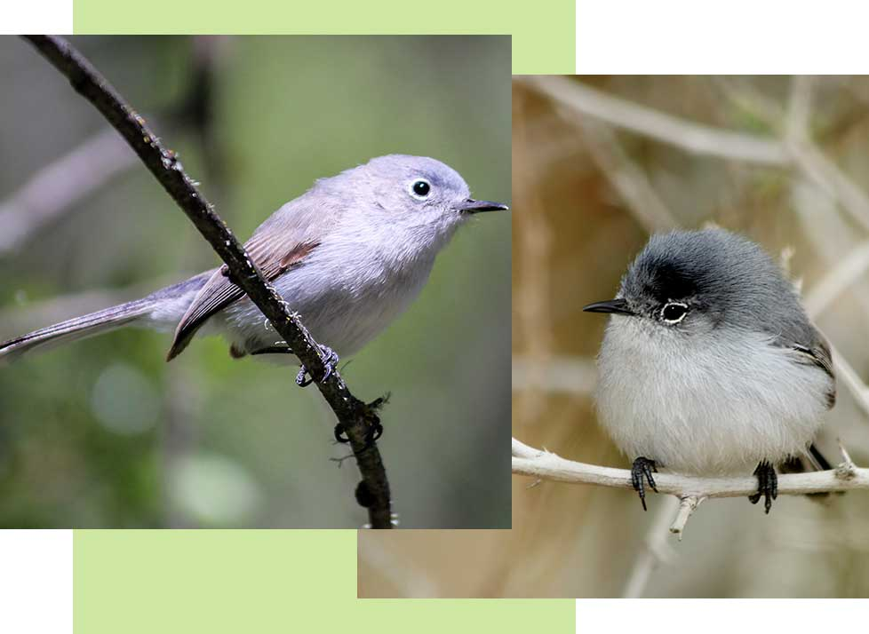 Blue-Grey Gnatcatchers at Rookery Bay Research Reserve | National Estuarine Research Reserve