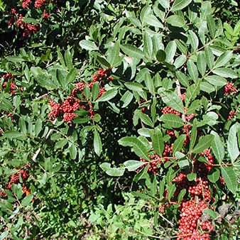 Brazilian Pepper Plants in Naples 450 | Rookery Bay Research Reserve