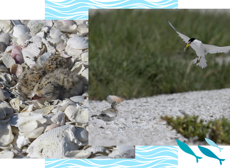Break with the Birds | Terns Turn | Rookery Bay Research Reserve