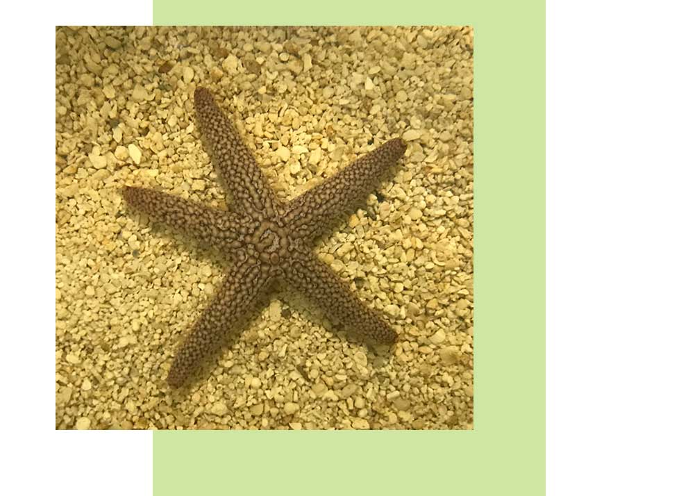 Brown Spiny Sea Star Wildlife in Naples | Rookery Bay Research Reserve