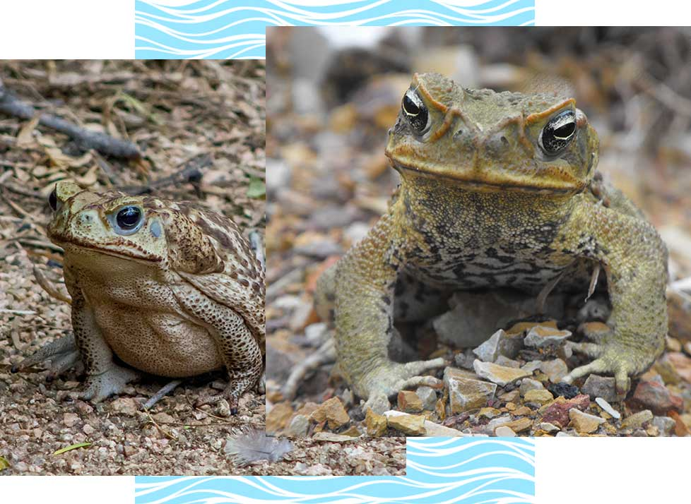 Cane Toads at Rookery Bay Research Reserve | National Estuarine Research Reserve