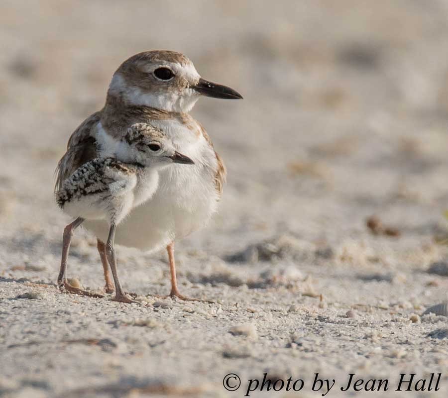 Wilsons Plover | Second Chance Sandbar | Rookery Bay Research Reserve