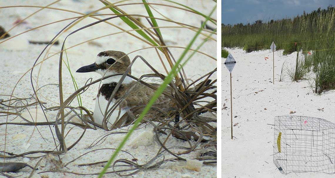 Coexisting Beach Nesting in Naples | Rookery Bay Research Reserve