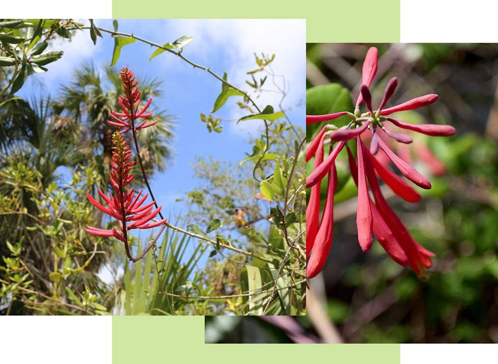 Coral Bean Wildlife in Naples | Rookery Bay Research Reserve
