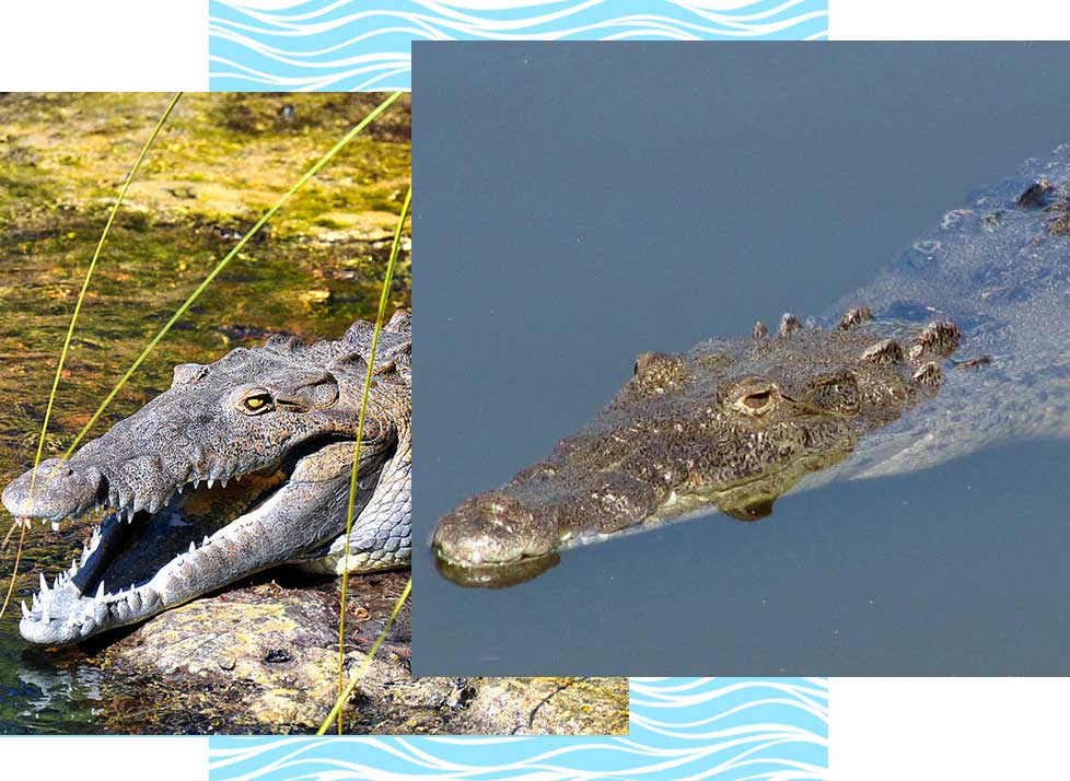 American Crocodiles at Rookery Bay Research Reserve | National Estuarine Research Reserve