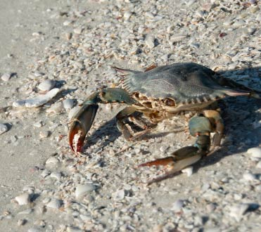 Wildlife at Rookery Bay Research Reserve: Crustaceans | National Estuarine Reserve