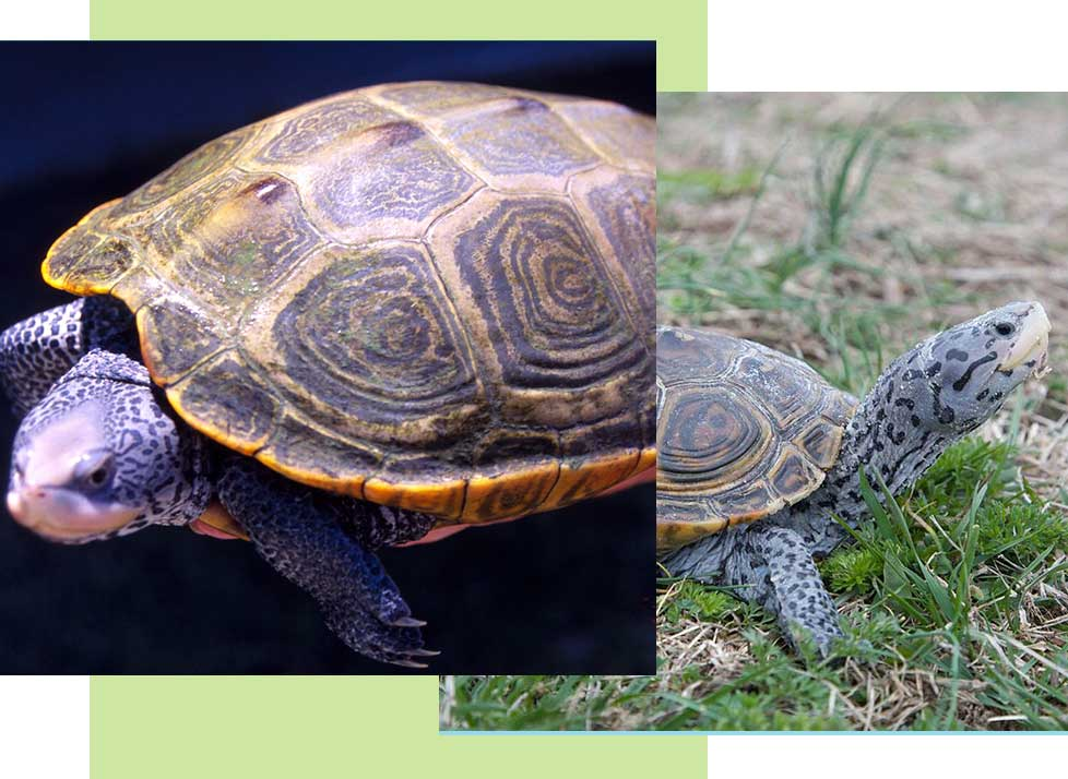 Diamondback Terrapins at Rookery Bay Research Reserve | National Estuarine Research Reserve