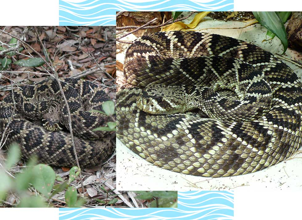 Eastern Diamondback Rattle Snake Wildlife in Naples | Rookery Bay Research Reserve