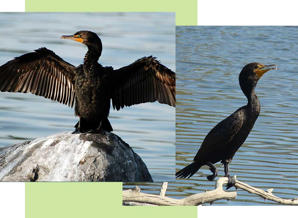 Double Crested Cormorants at Rookery Bay Research Reserve | National Estuarine Research Reserve