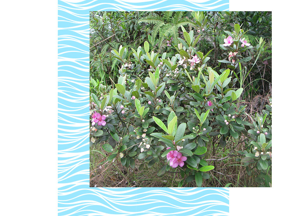 Downy Rose Myrtle Plants in Naples | Rookery Bay Research Reserve