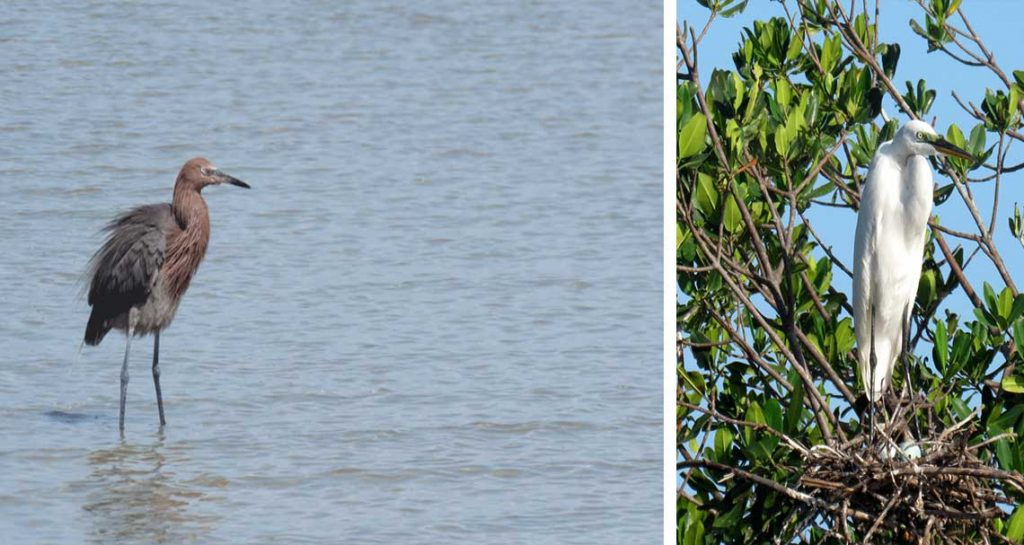 Dynamic Wading Birds in Naples | Rookery Bay Research Reserve