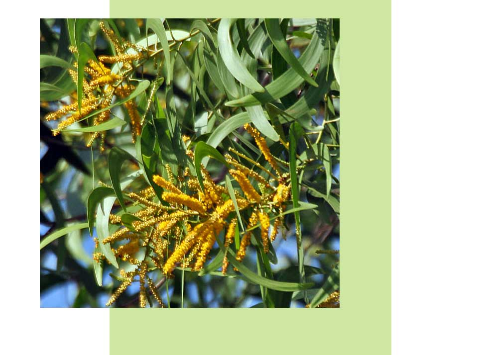 Earleaf Acacia Plants in Naples | Rookery Bay Research Reserve