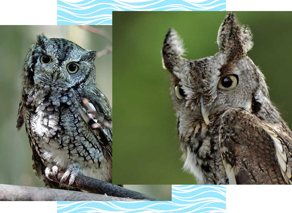 Eastern Screech Owls at Rookery Bay Research Reserve | National Estuarine Research Reserve