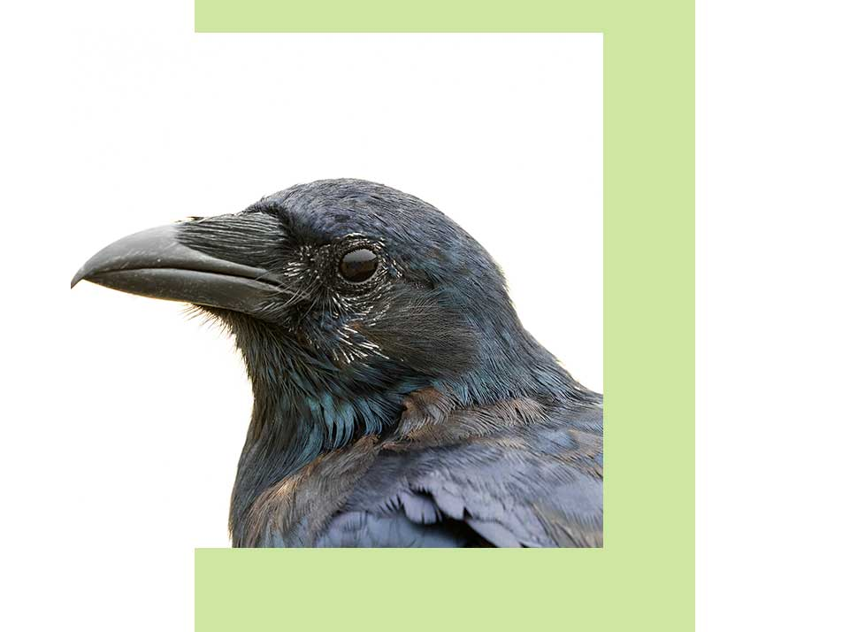 Fish Crow Wildlife in Naples | Rookery bay Research Reserve