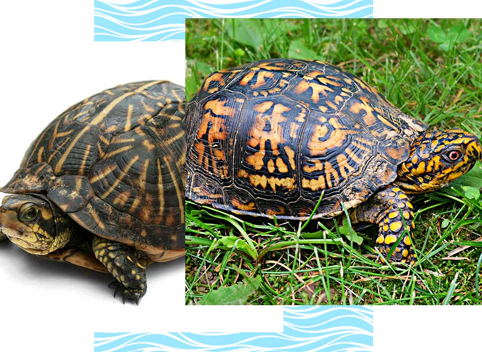 Florida Box Turtles at Rookery Bay Research Reserve | National Estuarine Research Reserve