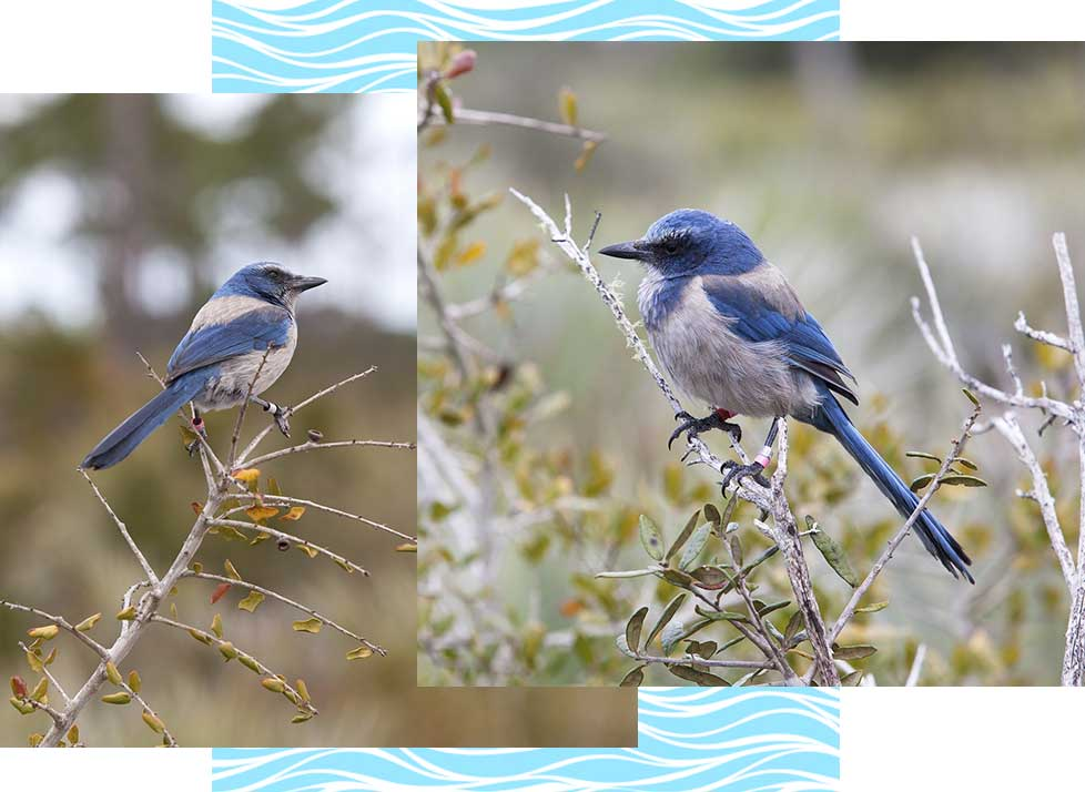 Florida Scrub-Jays at Rookery Bay Research Reserve | National Estuarine Research Reserve