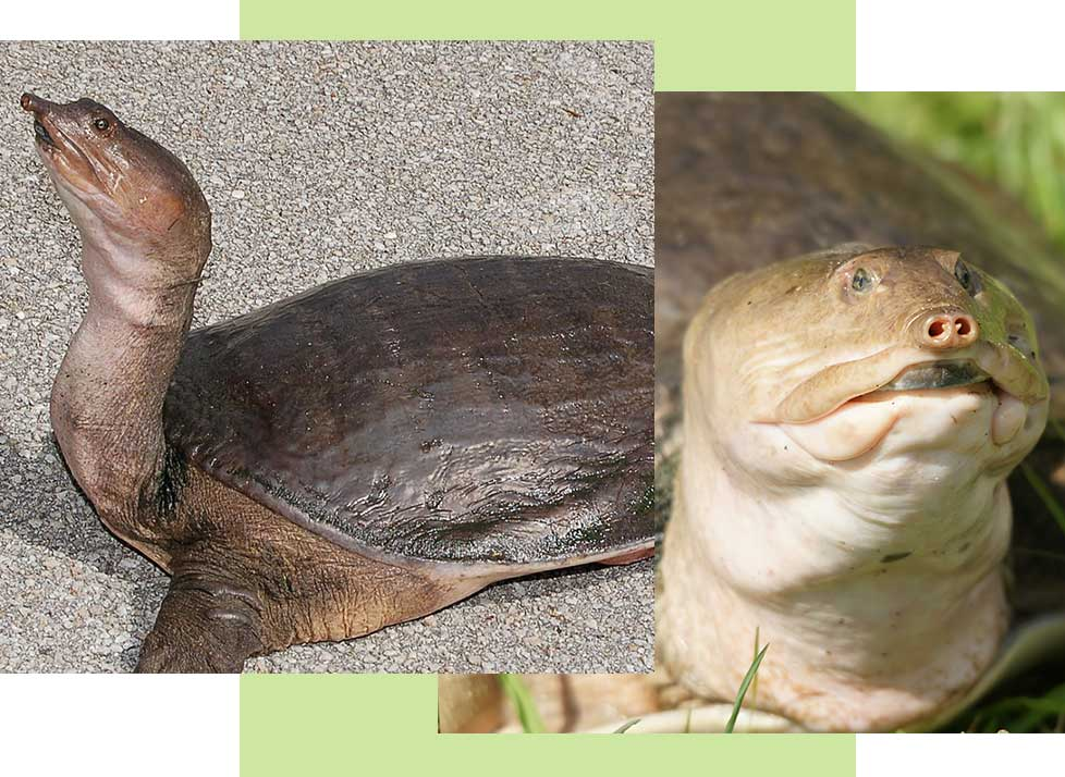 Florida Softshell Turtles at Rookery Bay Research Reserve | National Estuarine Research Reserve
