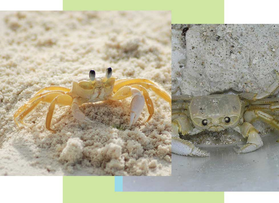 Ghost Crabs at Rookery Bay Research Reserve | National Estuarine Research Reserve