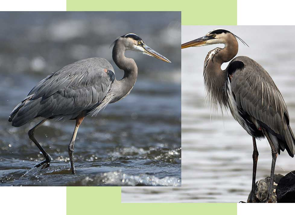 Great Blue Herons at Rookery Bay Research Reserve | National Estuarine Research Reserve