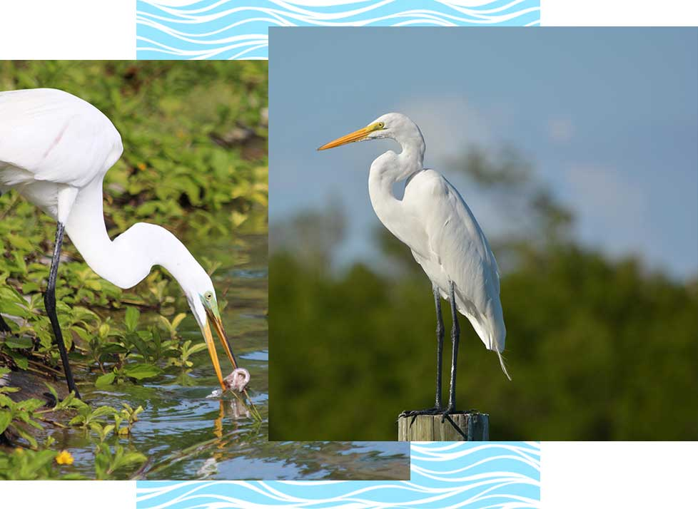 Great Egrets at at Rookery Bay Research Reserve | National Estuarine Research Reserve