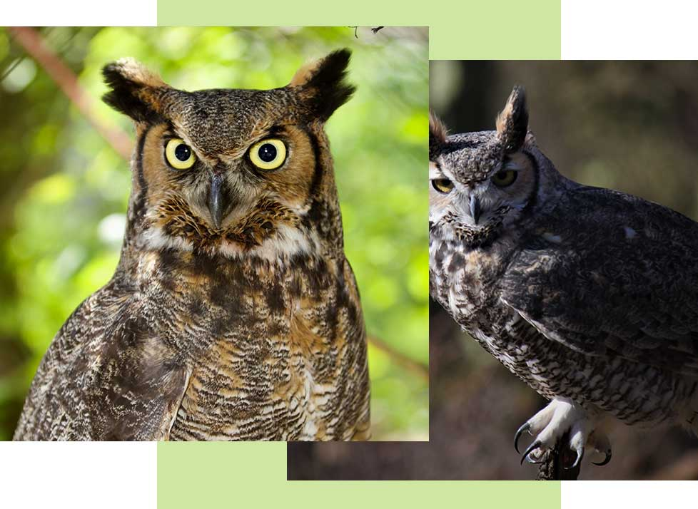 Great Horned Owls at Rookery Bay Research Reserve | National Estuarine Research Reserve