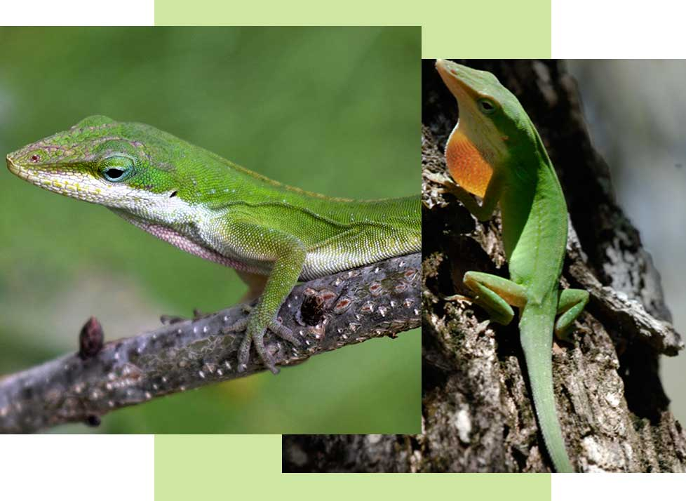 Green Anoles at Rookery Bay Research Reserve | National Estuarine Research Reserve