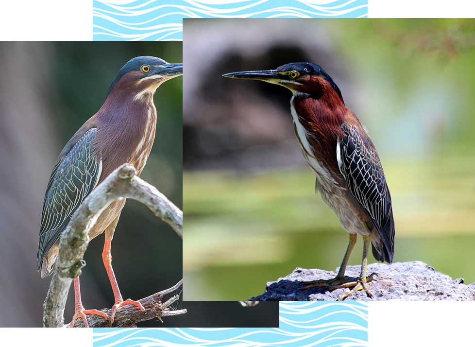Green Herons at Rookery Bay Research Reserve | National Estuarine Research Reserve