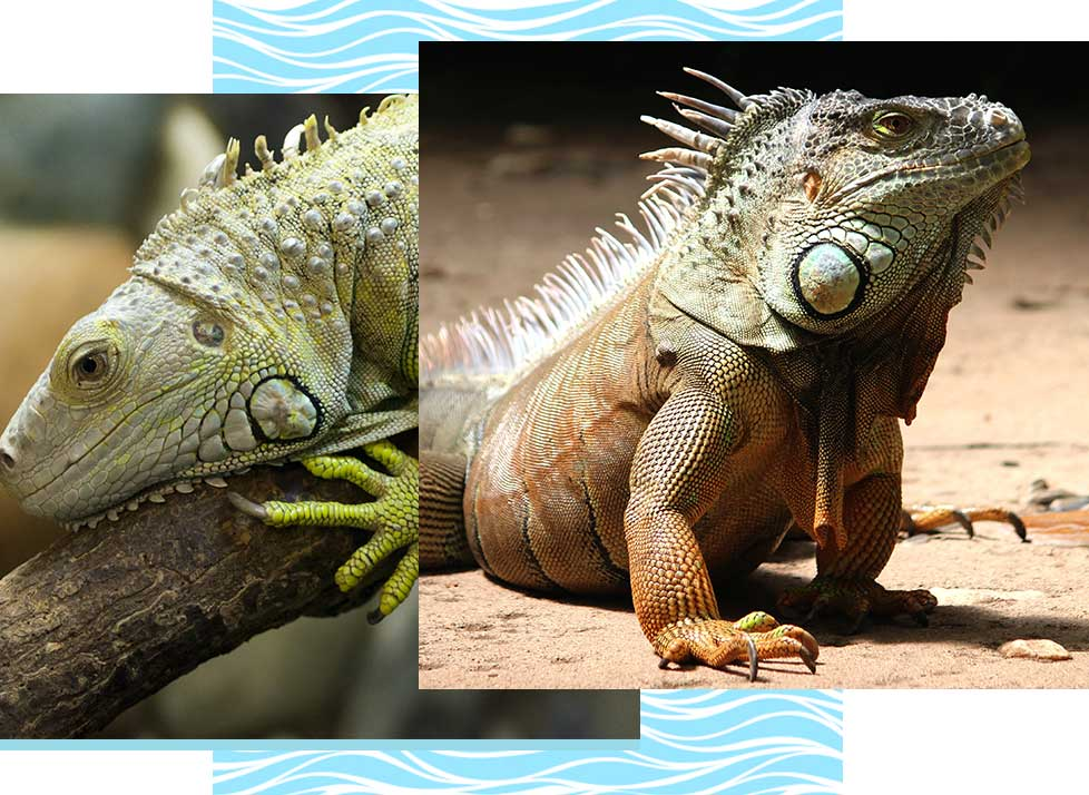 Green Iguanas at Rookery Bay Research Reserve | National Estuarine Research Reserve