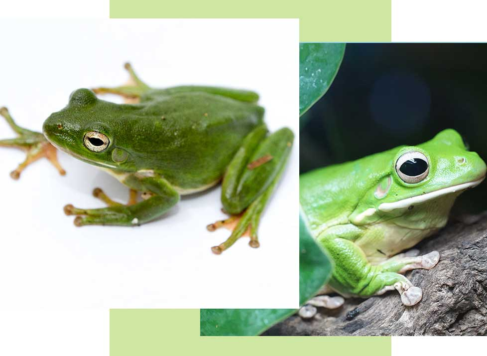 Green Tree Frogs at Rookery Bay Research Reserve | National Estuarine Research Reserve