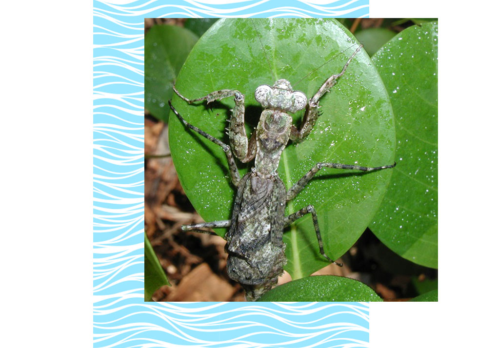 Grizzled Mantis Wildlife in Naples | Rookery Bay Research Reserve