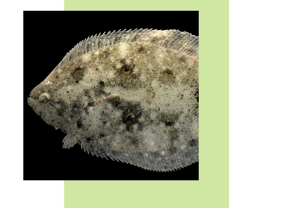 Gulf Flounder in Naples | Rookery Bay Research Reserve