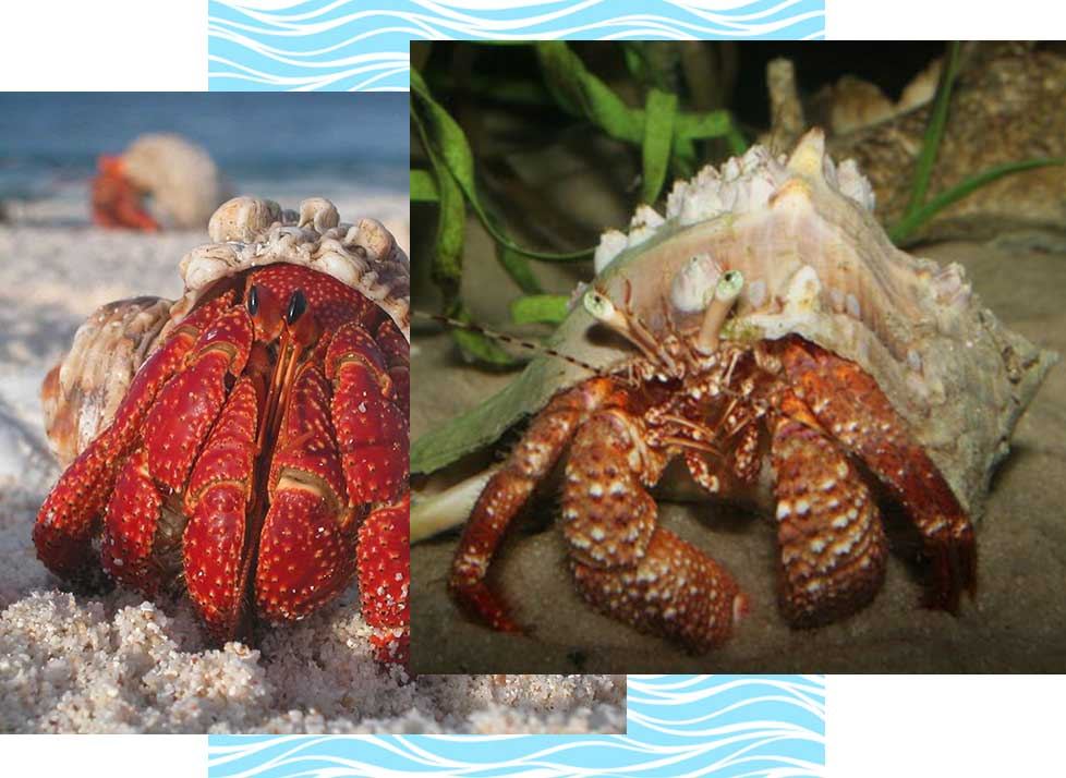 Giant Hermit Crabs at Rookery Bay Research Reserve | National Estuarine Research Reserve