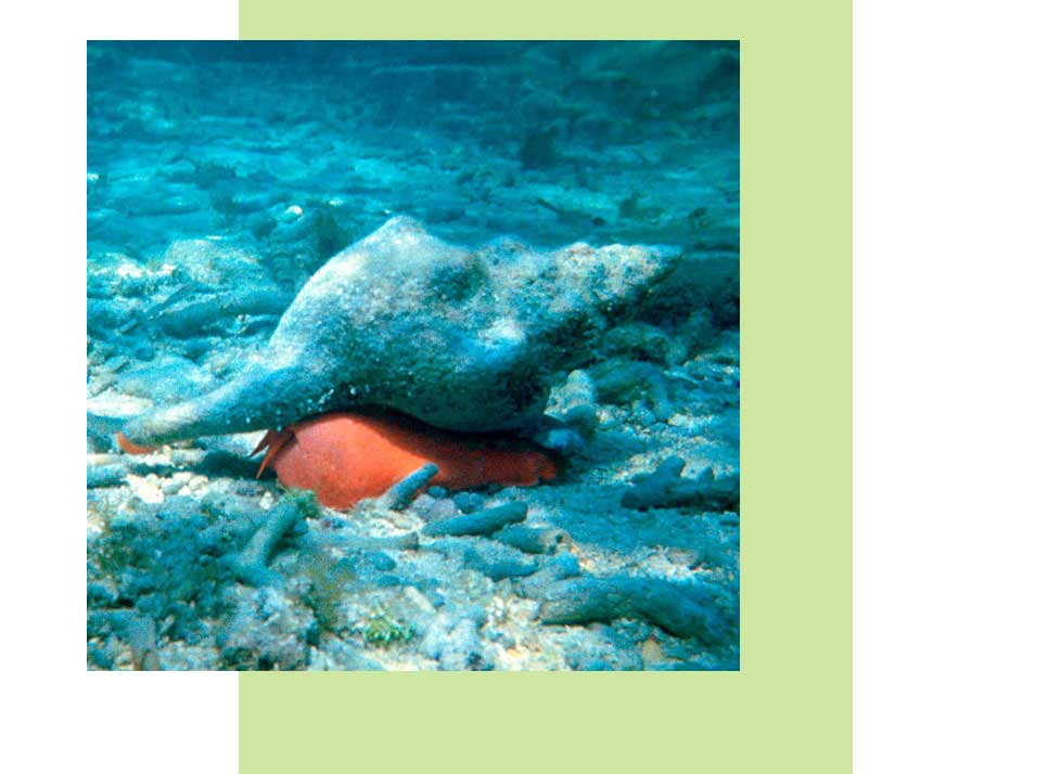 Horse Conch Wildlife in Naples | Rookery Bay Research Reserve