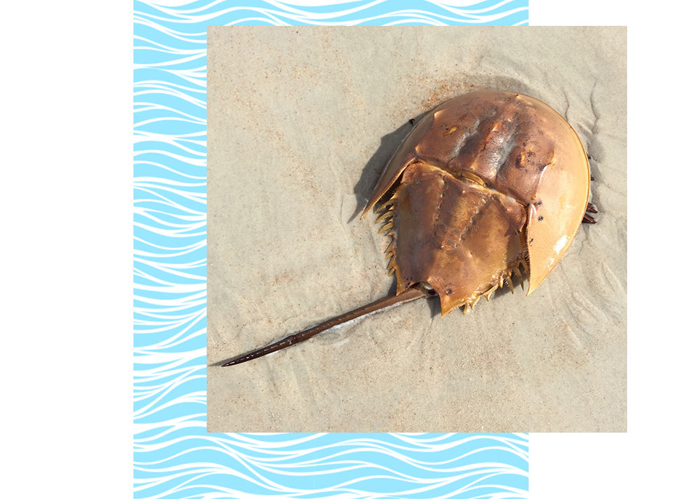 Horseshoe Crab Wildlife in Naples | Rookery Bay Research Reserve