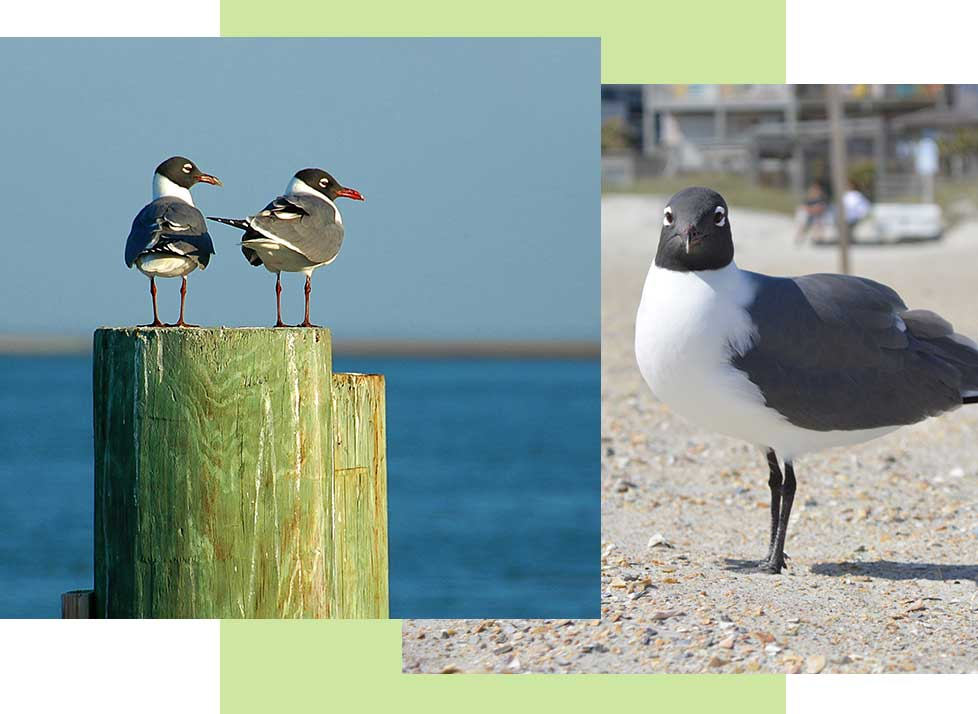 Laughing Gulls at Rookery Bay Research Reserve | National Estuarine Research Reserve