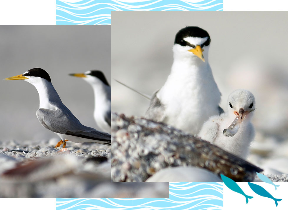 Least Terns at Rookery Bay Research Reserve   National Estuarine Research Reserve